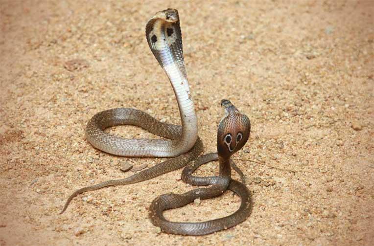 giải mã giấc mơ thấy 2 con rắn